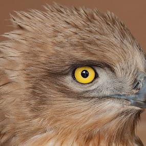 Snake Eagle  by Nikos Pa - Animals Birds