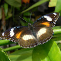 common eggfly (female)