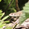 Common (Viviparous) Lizard