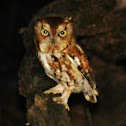 Eastern screech owl red morph