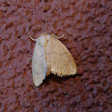 Red-crossed Button Slug Moth