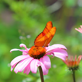 butterfly by Tyson Davis - Novices Only Wildlife ( pink flower, butterfly, nectar, insect, flower,  )