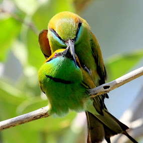 Making Love by S Balaji - Animals Birds ( s.balaji, wild, animals, nature, style, green bee-eaters, birds )