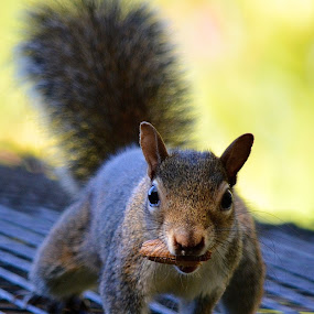 I've Got Mine, Get Your Own by Ed Hanson - Animals Other ( nature, nut, close-up, squirrel )