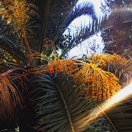 palma by Renco Gotovac - Nature Up Close Trees & Bushes ( palm, palm tree, sky, tree, light, sun )