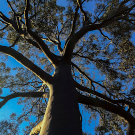 Big Beauty by Tamara Jacobs - City,  Street & Park  City Parks ( plant, sky, trunk, park, tree, leaves, branches )