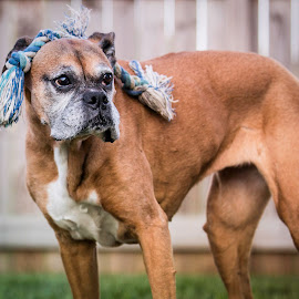 Go Ahead...Make Fun by Shawn Klawitter - Animals - Dogs Portraits ( playing, animals, pet, boxer, outdoors )