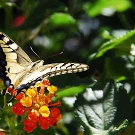 Papilio machaon  by Claudio Vitorino - Nature Up Close Gardens & Produce ( butterfly, macro, papilio machaon, nature, flower,  )