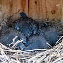 Eastern bluebirds (box #4 brood #1)