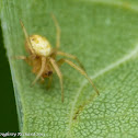 Six-spotted orbweaver