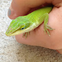 Green anole (or Carolina anole)
