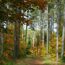 into the woods by Kristin Samuel-Stevens - Landscapes Forests ( path, nature, landscape )