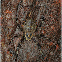 Female Ornamental Tree Trunk Spider