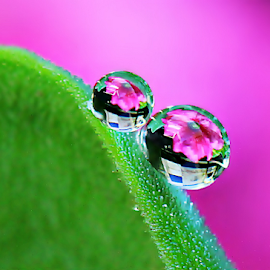 by Fentee  Affandy - Nature Up Close Natural Waterdrops ( macrophotography, flowers, waterdrops, droplets )