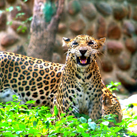 Wild Anger by Vijayanand K - Animals Lions, Tigers & Big Cats ( wild animal, big cat, wild, leopard, animal )