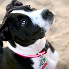 Liberty by Monica Smith - Animals - Dogs Portraits ( sand, pet, pitbull terrier, beach, dog )