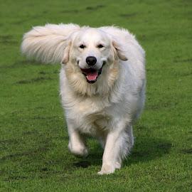 Look Dad! I Can Still Run! by Chrissie Barrow - Animals - Dogs Running ( retriever, tongue, grass, green, running, tail, cream, eyes, pet, fur, ears, pink, legs, dog, nose, golden )