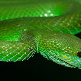 by Lisa Coletto - Animals Reptiles ( snake, venomous, tree snake, viper )
