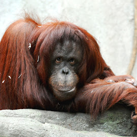 Sophia by Sylvia Smialkowska - Animals Other Mammals ( animals, ape, orangutan )