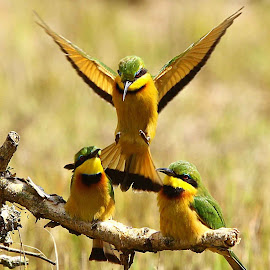 Little Bee-eater  Merops pusillus  by Chris Krog - Animals Birds ( bee, merps, eater )