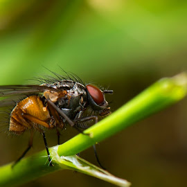 My Flies by Fisca Octavina - Novices Only Macro ( fisca photowork )