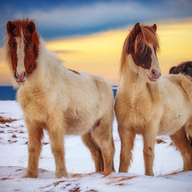 My favorite models  by Gunnlaugur Örn Valsson - Animals Horses ( water, icelandic, red, sky, horses, colors, snow, white, portrait,  )