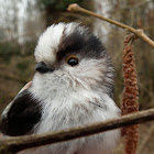 Long-tailed Tit/ Schwanzmeise