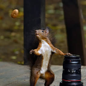 Lens or nut by Gabriel Catalin - Animals Other Mammals ( squirrels, autumn, nut, fun, lens )