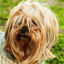 Phoebe by Maricha  Knight van Heerden - Animals - Dogs Portraits ( mice, hunter, yorkshire terrier, yorkshire, precious, beautiful, terrier, dog, rats )