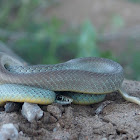 Eastern Yellow Bellied Racer