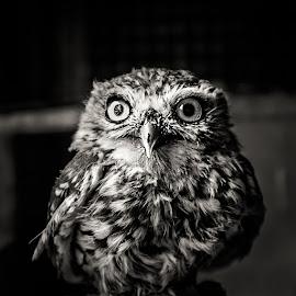 owl chick by Gennaro Ruggiero - Animals Birds ( bird, chick, nocturnal bird of prey, owl, eye )