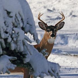 Winter Buck by Lloyd Alexander - Animals Other Mammals ( wild, free, lloyd alexander, winter, antler, nature, buck, wildlife, rack, natural, mammal, deer )