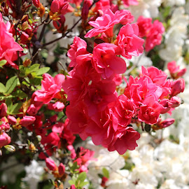 Pink Azalea by Christie Henderson - Novices Only Flowers & Plants ( pink azalea )