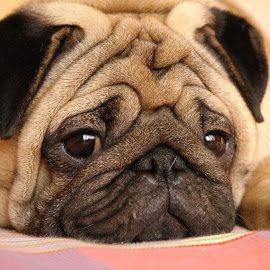 Thinking by Milind Lele - Animals - Dogs Portraits ( animals, friends, dogs, pets, pugs, loving, cute )