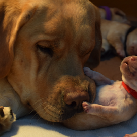 by Donna Sepe - Animals - Dogs Puppies ( mother and pup, puppy, dog, lab, yellow lab,  )