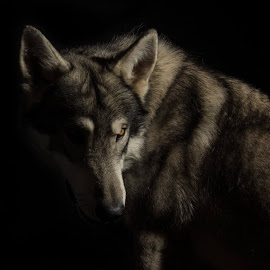 Mister Wolf by Gavin Hewitt - Animals - Dogs Portraits ( watermill wolves, bld, mister wolf, wolf )