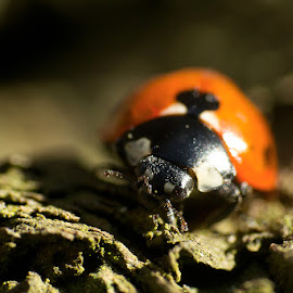 Ladybird by Mike Hawkwind - Novices Only Macro ( scotland, macro, uk, muiravonside, ladybird, places, insects )