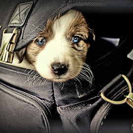by Glenn Hamm - Animals - Dogs Puppies