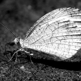 Butterfly by Soumen Mandal - Novices Only Wildlife ( butterfly, black and white, wildlife, animal,  )