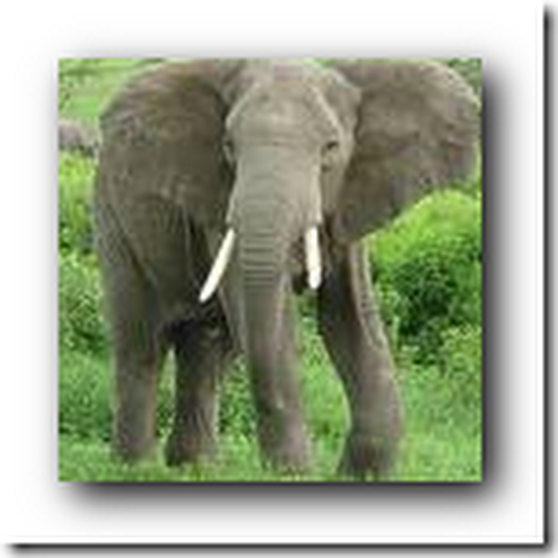 Elephant Texting – Yes Elephants are now set up to Text