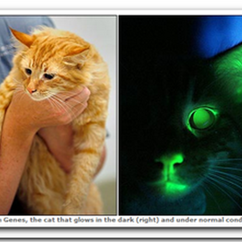 A Glow in the Dark Cat – Genetic study to develop Gene therapy to combat disease