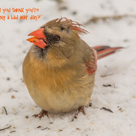 Bad Hair Day by Jennifer McWhirt - Typography Captioned Photos ( animals, photographybyjenmcwhirt.com, female cardinal, bad hair, humor, nikon, birds )