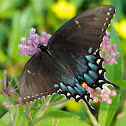 Eastern Tiger Swallowtail butterfly (female, dark morph)