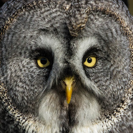 Wise old owl by Sue Lascelles - Novices Only Wildlife ( bird, bird of prey, wise, owl, eyes,  )