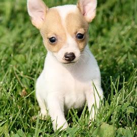 Jackson by Leah Danker - Animals - Dogs Puppies ( jackson, puppy, toyfoxterrier, puppy portrait, my jackson,  )