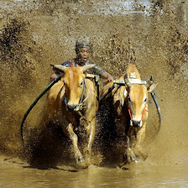 splashing mud by Romi Febrianto - Sports & Fitness Rodeo/Bull Riding ( field, cowboy, mud, sports, cow )