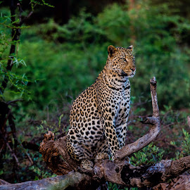 Monje 2 by Matt Buckley - Novices Only Wildlife ( leopard )