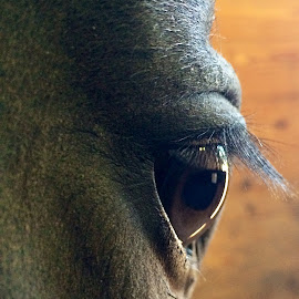 Huckleberry in deep thought  by Elizabeth Goldberg - Animals Horses