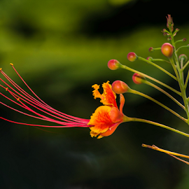 Peacock Flower by Patricia Kousaleos - Flowers Flowers in the Wild ( orange, nature, color, stem, bud, flower )