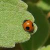 Joaninha / Ladybug